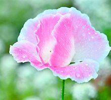 Light Pink Corn Poppy by Nick Conde-Dudding