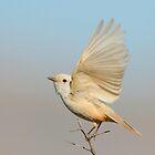Leucistic Vermilion Flycatcher by DavidQuanrud