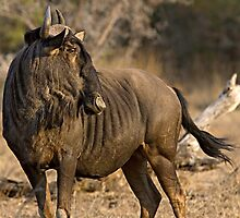 Wildebeest by Michael  Moss