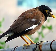 Indian Mynah by Paul Todd