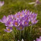 Crocus' blooming in early Spring by Jon Lees