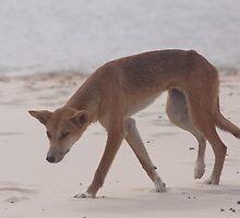 Dingo, Eli Creek, Fraser Island by smallan
