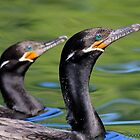 Neotropic Cormorants by DavidQuanrud