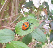 Orange Stink Beetle by Angela Simpkin