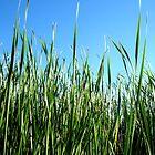 Reeds by Marina Raspolich