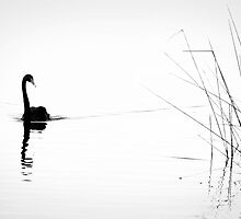 Black Swan - Lake Monger WA by LauraMcLean