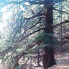 cederwood tree by bishan
