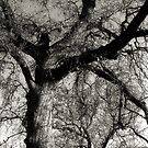 Trees, Branches, Sky in Black and White  March 7, 2010 by Ivana Redwine