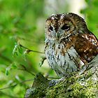 Tawny Owl in woodland by buttonpresser