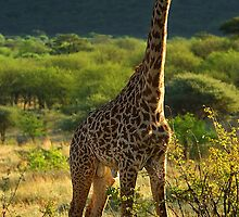 Mr Giraffe! by capturedjourney