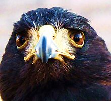 Harris Hawk, one! by artfulvistas