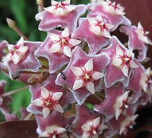Hoya flower head. by Marilyn Baldey
