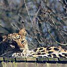Leopard by wendywoo1972