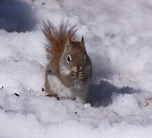 Feeding time for a squirrel by Josef Pittner