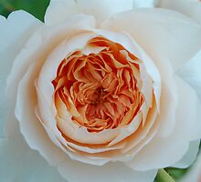 Peach Centered Rose by photojeanic