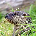 CUTE OTTER by Helen Akerstrom Photography