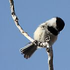 Chickadee on a Branch by Alyce Taylor