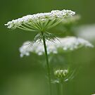 Flower Stack - Queen Annes Lace by Yannik Hay