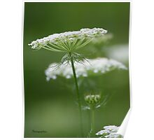 Flower Stack - Queen Anne's Lace Poster