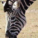 zebra by wendywoo1972