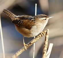 Marsh Wren on the Lookout by Wolf Read