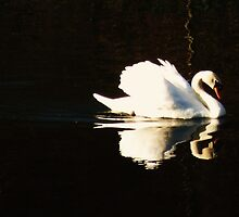Swan Reflection - Chelmsford Central Park by MichelleRees
