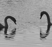 Pair of Swans - Black & White, Chelmsford UK by MichelleRees
