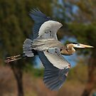 030710 Great Blue Heron by Marvin Collins