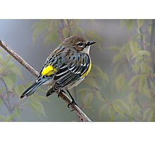 Yellow Rump Warbler in Spring Photographic Print