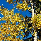 Fall Aspens by chas48