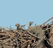 TWO BALD EAGLE CHICKS by TomBaumker