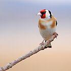 Goldfinch by Grant Glendinning
