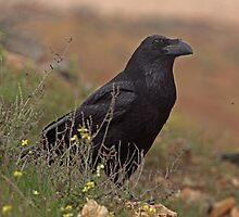 North-african Common Raven by Hugh J Griffiths