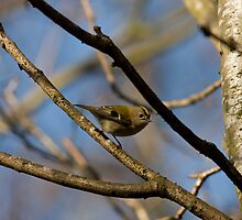 Goldcrest by Jon Lees