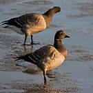 Light bellied brent goose by Jon Lees