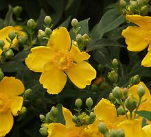 Hypericum Calcynum by WatscapePhoto