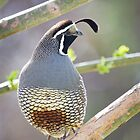 Quail in Tree by Kim Barton