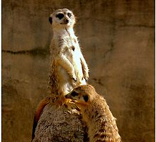 Meerkat by Kate Adams