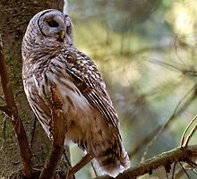 Barred Owl in Pine Tree - Brighton Ontario by Michael Cummings