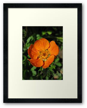 Orange Geum Flower by GnomePrints