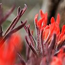 Indian Paintbrush Up Close by Kim Barton