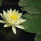 Yellow Lotus Flower by Nicholas Richardson