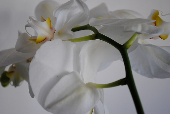 Orchid White on White by Rebecca Bryson