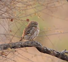 Pearl Spotted Owl on a Combretum hereroense by John Banks