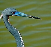 Tricolored Heron by Nick Conde-Dudding