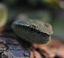 Wagler's Pit Viper by Dennis Stewart