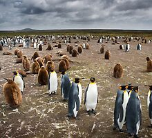 Penguin Colony by Ben Goode