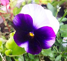 "Pansy bloom (aka ""Viola Tricolor) by wildworld78"