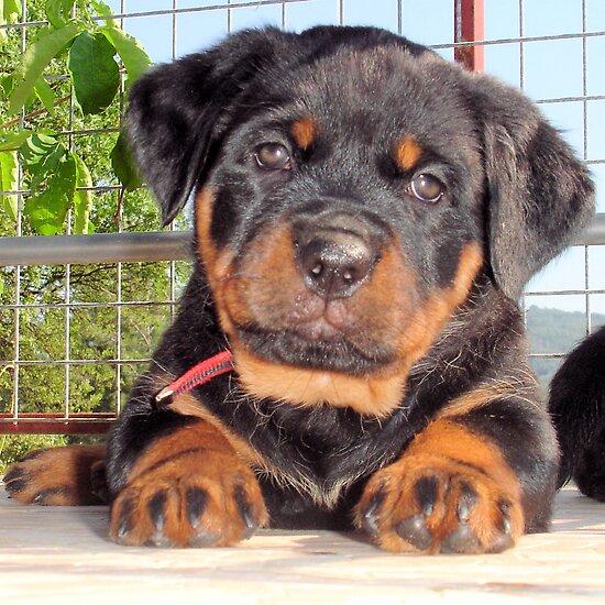 Mollie: A Puppy Portrait by taiche