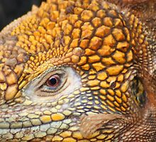 Eye of the Land Iguana by Laurel Talabere
